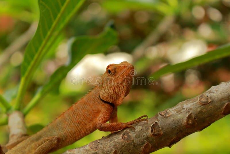 关闭泰国变色蜥蜴 免版税库存图片