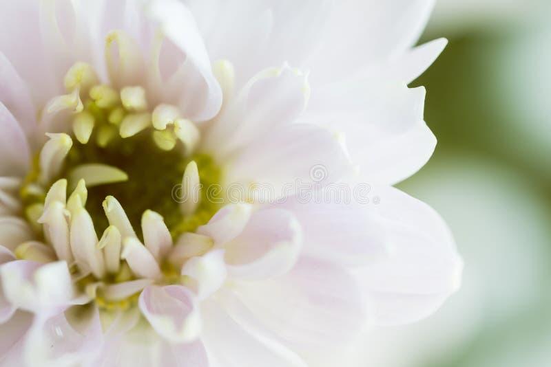 关闭浅粉红色的菊花花背景,宏指令 库存照片