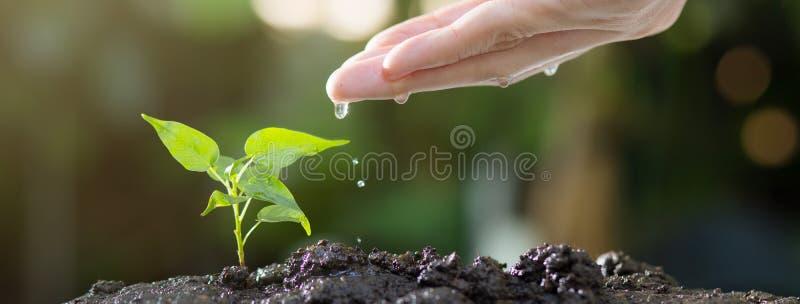 关闭浇灌在土壤的男性手年轻树 增长的种子和种植概念,与copyspace的横幅 免版税库存照片