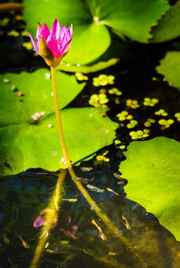 关闭淡紫色莲花在有小鱼的池塘 库存图片