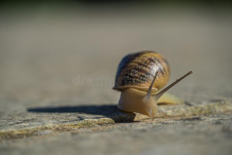 关闭滑动在一个混凝土墙上的一只小的蜗牛 免版税图库摄影