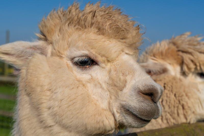 关闭滑稽的看起来的白色alpacaa在农场 免版税库存图片