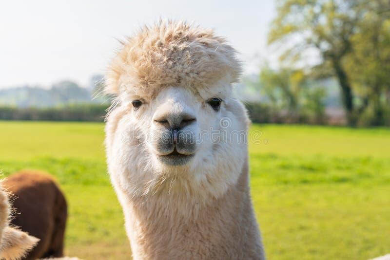 关闭滑稽的看起来的白色alpacaa在农场 库存照片