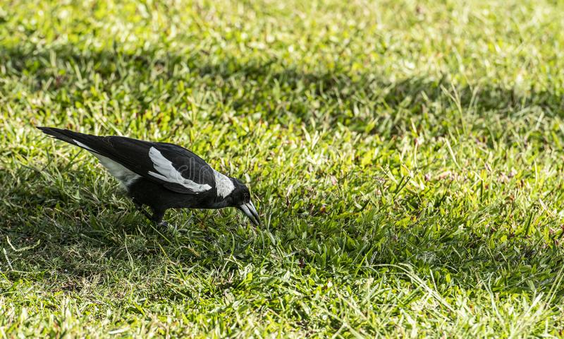 关闭澳大利亚鹊或Gymnorhina秋蝉,站立在绿草 库存照片