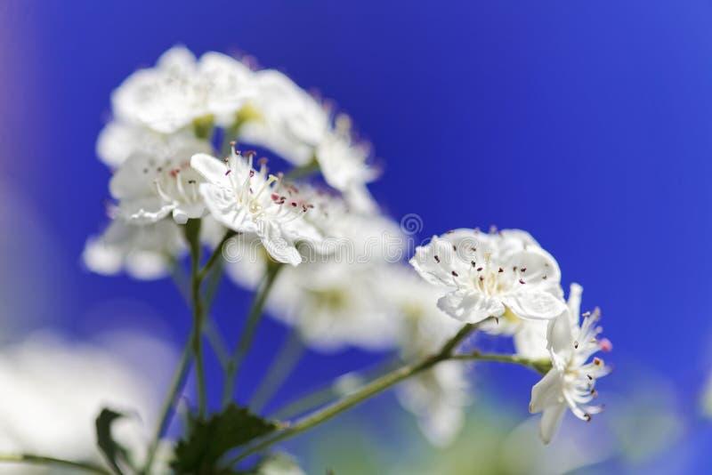关闭灌木荚莲属的植物绽放 春天白花的宏观射击 库存图片