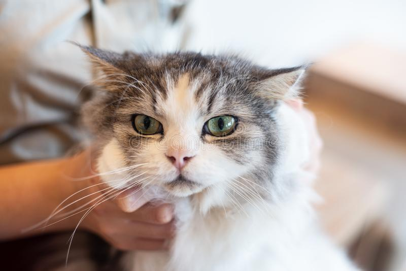关闭灰色和白色逗人喜爱的猫由爱动物的人运载 免版税图库摄影