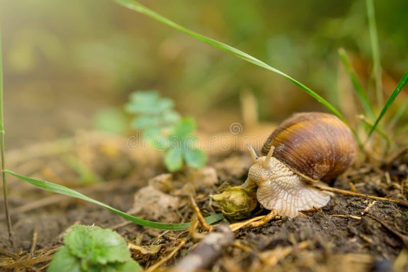 关闭爬行在土壤的蜗牛在森林里 库存图片