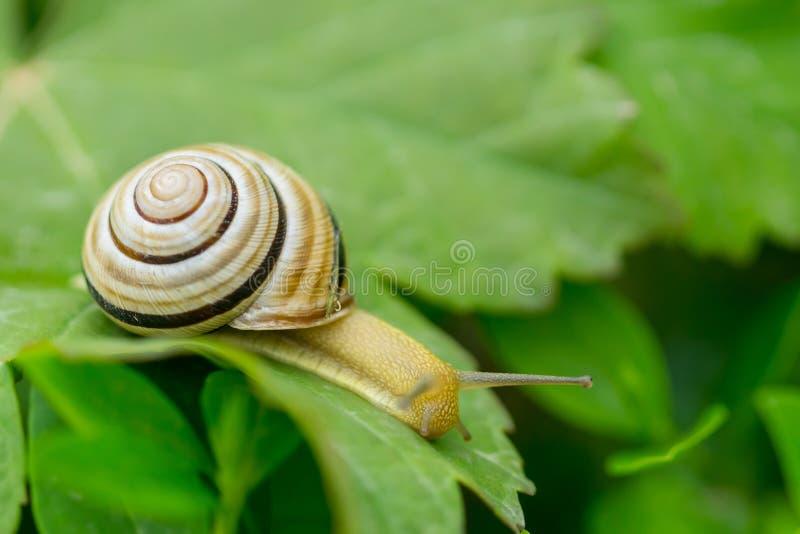 关闭爬行在绿色叶子的蜗牛宏指令 库存图片
