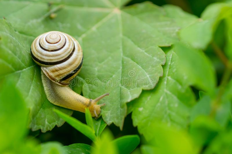 关闭爬行在绿色叶子的蜗牛宏指令 免版税库存照片