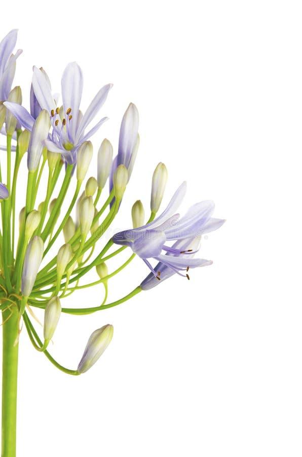 关闭爱情花花`,也称African Blue百合花的`爱情花,在白色bac隔绝的紫色蓝色树荫下 库存照片