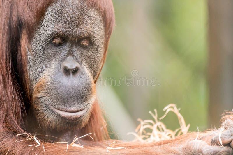 关闭猩猩正面图  免版税库存照片