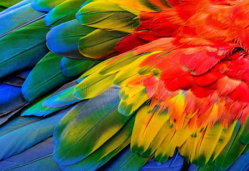 关闭猩红色金刚鹦鹉鸟` s羽毛 免版税库存照片