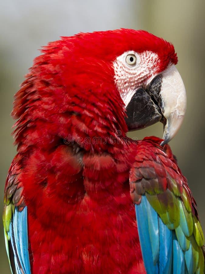 关闭猩红色金刚鹦鹉(ara澳门) 库存图片