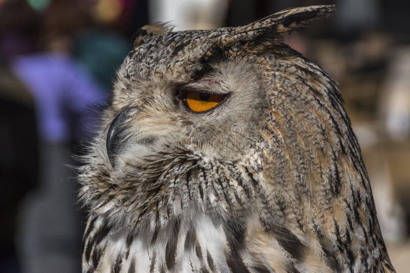 关闭猫头鹰的头的看法 免版税库存照片