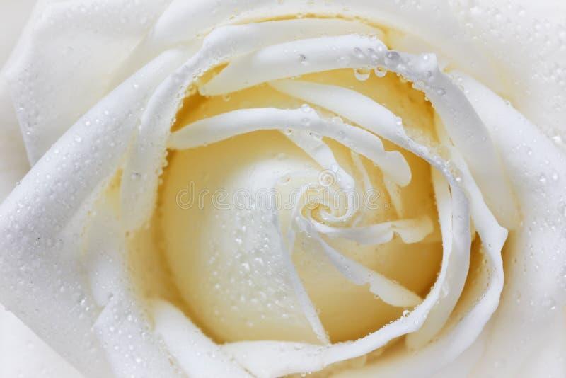 关闭玫瑰花瓣宏观射击在水下落的,葡萄酒花卉背景 免版税库存图片