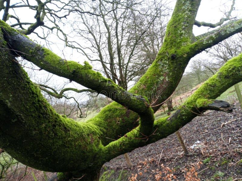 关闭生苔树有被弄脏的背景 免版税图库摄影