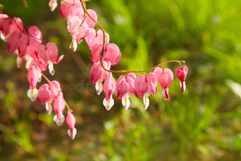 关闭生长在春天的心脏出血群 库存照片