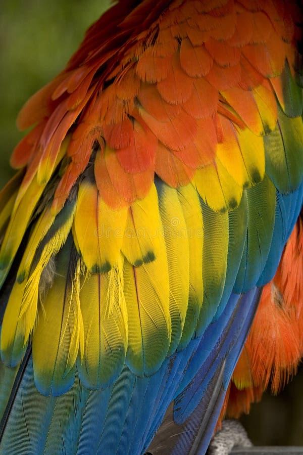 关闭用羽毛装饰金刚鹦鹉猩红色  图库摄影