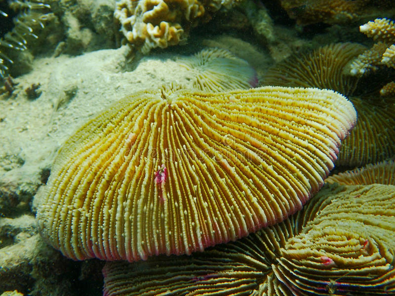 关闭由珊瑚虫蘑菇珊瑚决定,蕈珊瑚属 图库摄影