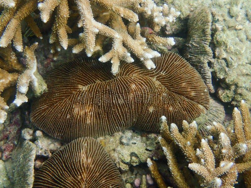 关闭由珊瑚虫蘑菇珊瑚决定,蕈珊瑚属 库存图片