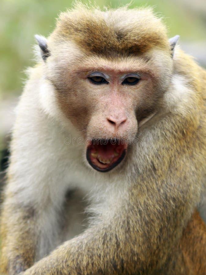 关闭疲乏的打呵欠的无边女帽短尾猿猴子猕猴属sinica,斯里兰卡 库存图片