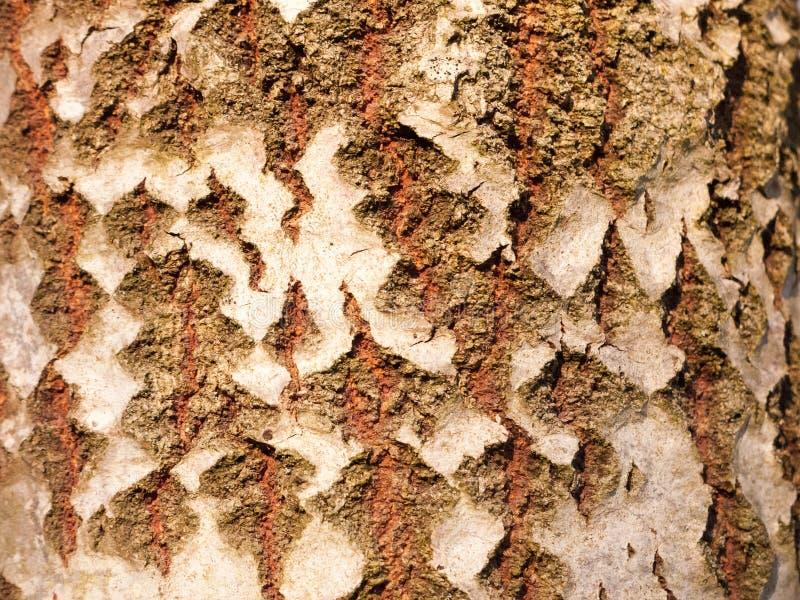 关闭白杨木分裂树干吠声纹理 免版税库存图片