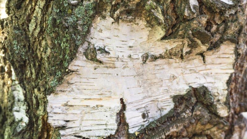 关闭白桦树皮表面纹理 库存图片