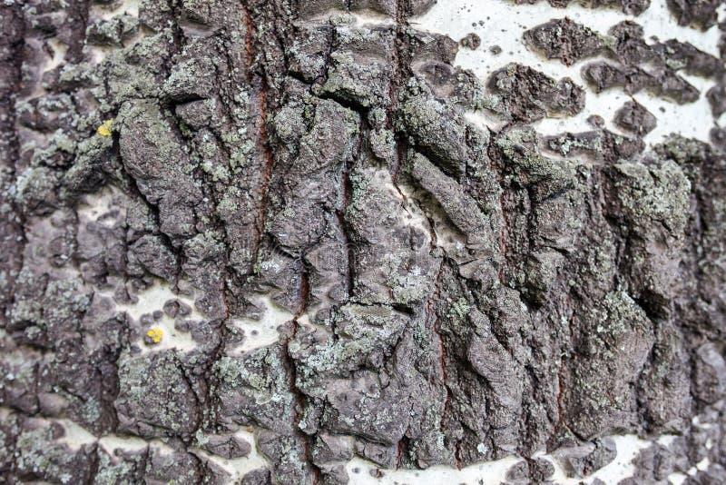 关闭白桦树皮 免版税库存图片