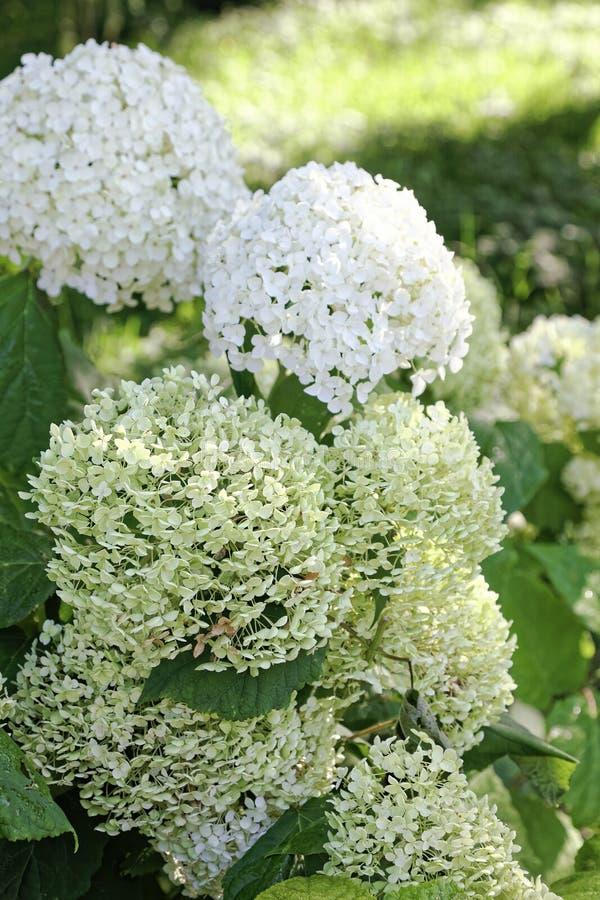 关闭白色八仙花属花 背景花卉浪漫 图库摄影