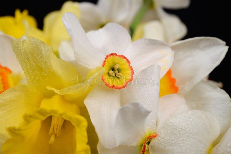 关闭白色和黄色黄水仙花束照片在黑色的 免版税库存照片