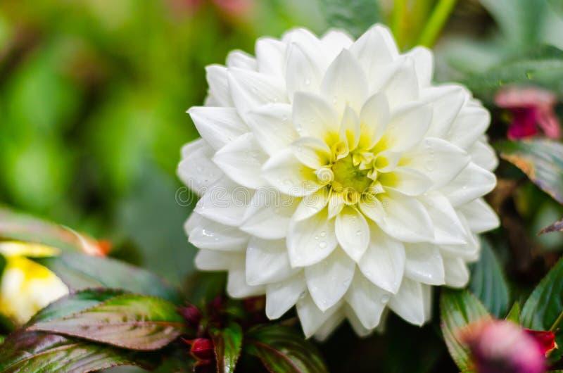 关闭白色大丽花杂种花有被弄脏的背景 图库摄影