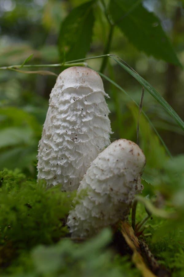 关闭白色蘑菇 免版税库存照片