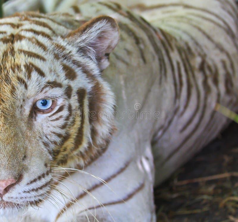 关闭白色tiger眼睛 库存照片