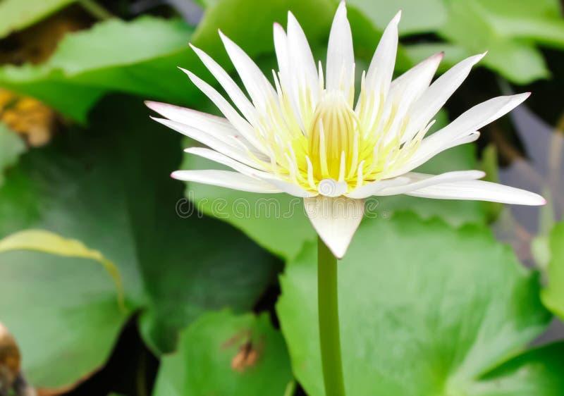 关闭白莲教花或荷花与绿色叶子在水 库存图片