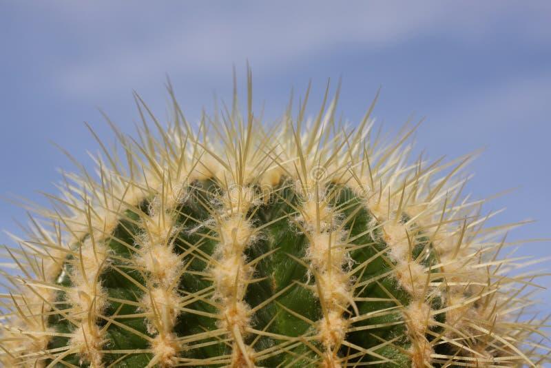 关闭的圆仙人掌植物与蓝天背景股票 免版税库存图片