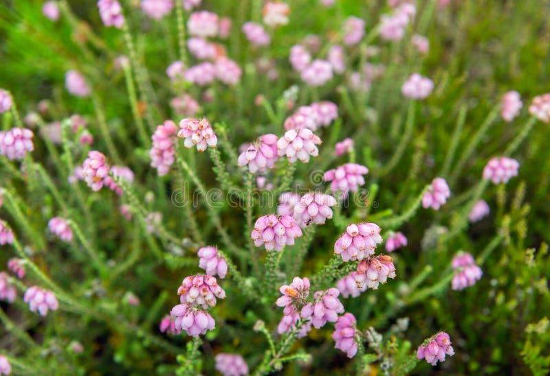 从关闭的微妙的淡粉红的开花的跨有叶的荒地 免版税库存照片