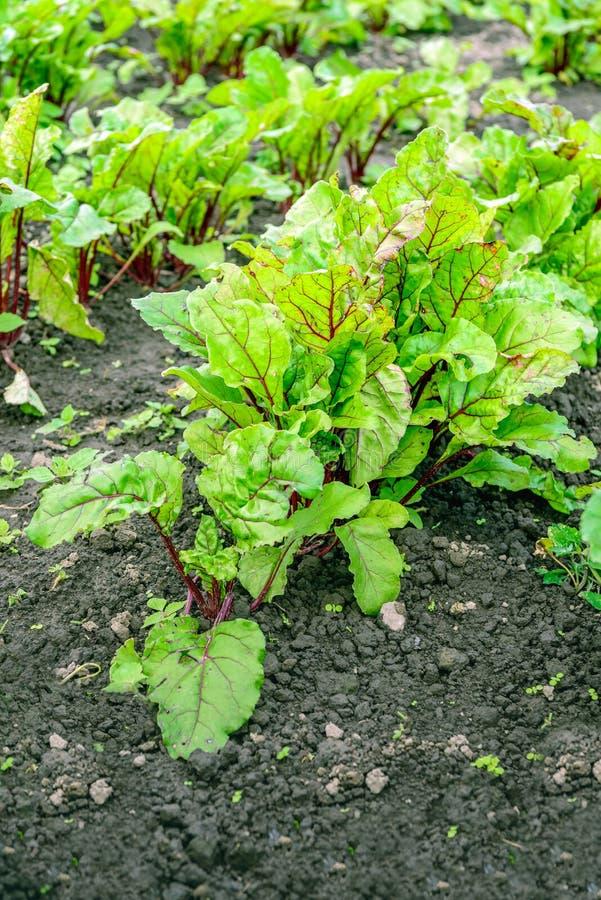 从关闭的红色甜菜植物在开放领域 免版税库存图片