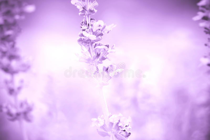 从关闭的背景贤哲植物(拉特 Salvia Officinalis) 免版税图库摄影