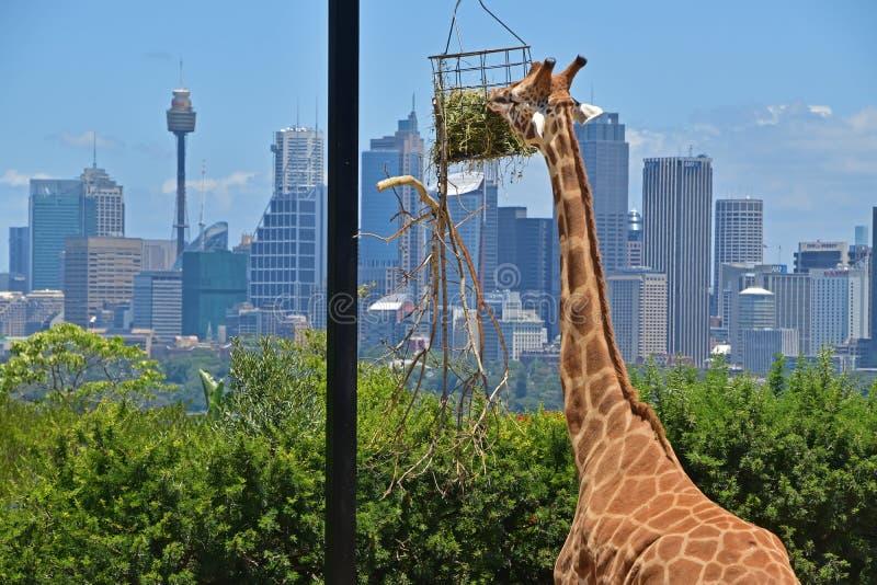 关闭的长颈鹿注视与悉尼地平线的观点食物在背景中 免版税图库摄影