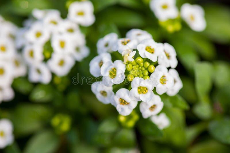 关闭相当桃红色,白色和紫色香雪球花,十字花科每年开花植物 免版税库存图片