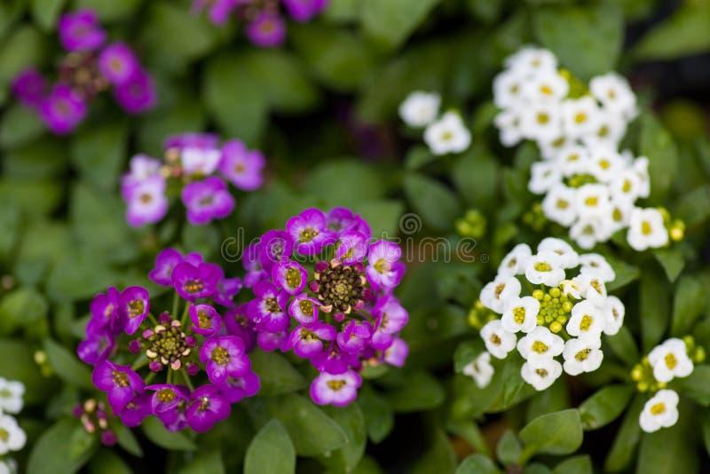 关闭相当桃红色,白色和紫色香雪球花,十字花科每年开花植物 免版税库存照片