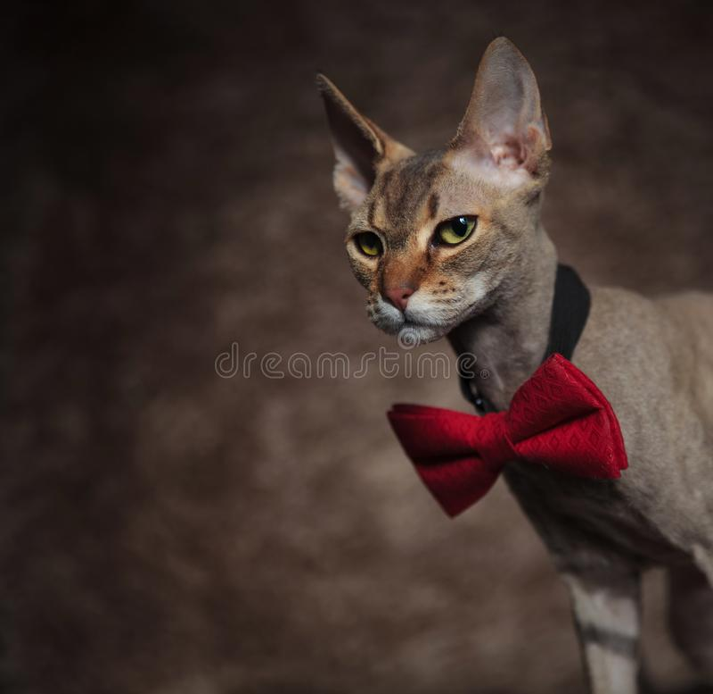 关闭看典雅的sphync的猫下来支持 免版税库存图片