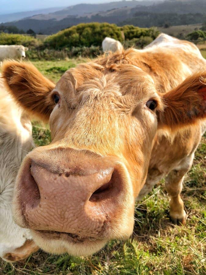 关闭看照相机的布朗母牛 库存图片