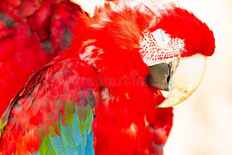 关闭睡觉猩红色金刚鹦鹉画象  图库摄影