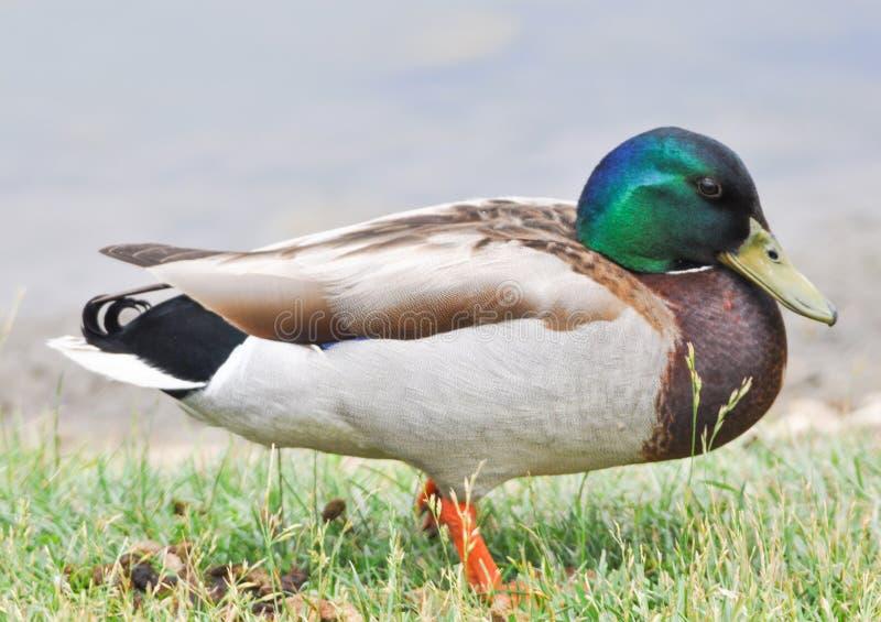 关闭站立的野鸭鸭子在湖,男性 库存例证