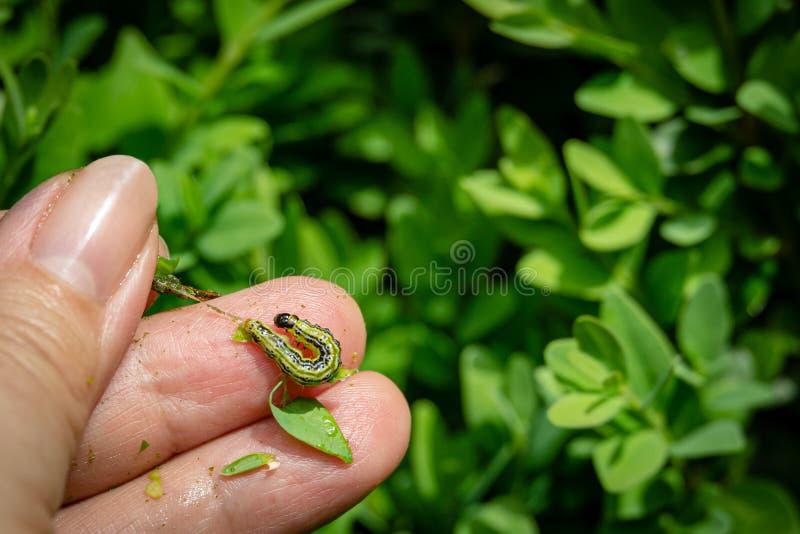 关闭箱子树飞蛾毛虫,Cydalima perspectalis,哺养在花匠的手指反对被弄脏的黄杨属 免版税库存图片