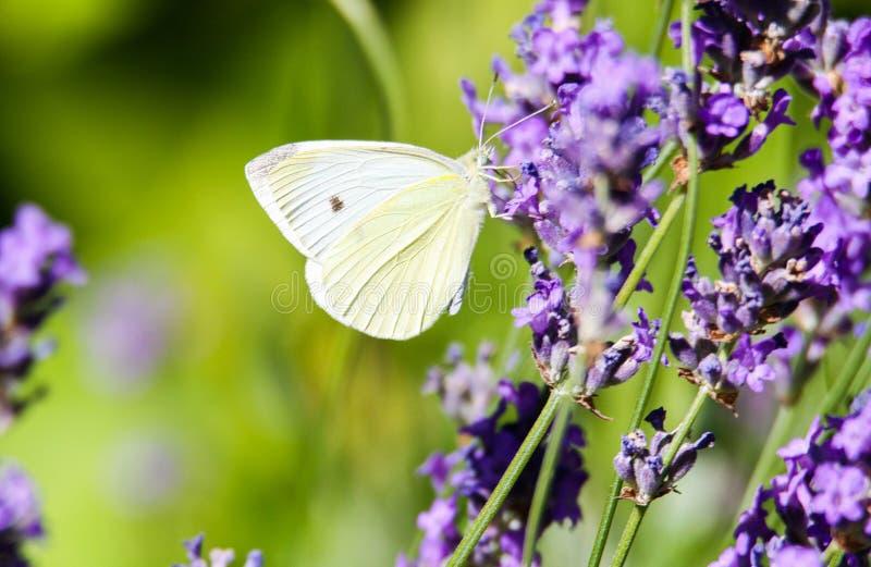 关闭粉蝶蝴蝶在淡紫色淡紫色的皮利斯brassicae 图库摄影