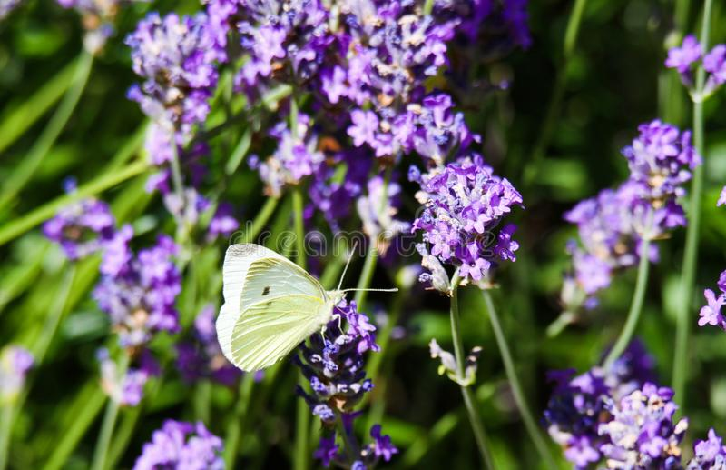 关闭粉蝶蝴蝶在淡紫色淡紫色的皮利斯brassicae 免版税图库摄影