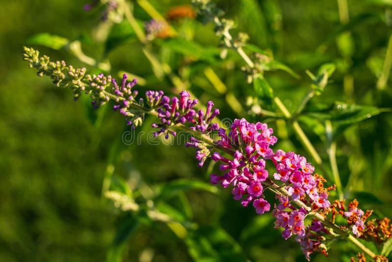 关闭紫色蝴蝶灌木丛开花 免版税图库摄影