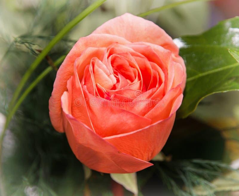 关闭红色玫瑰花的照片,爱的标志 库存照片